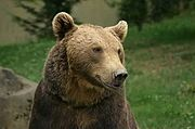 Brown bear of the Pyrenees