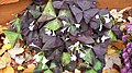 Oxalis Triangularis.jpg