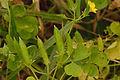 Oxalis stricta seedpods, Stijve klaverzuring vruchten (3).jpg