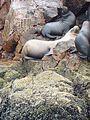 Pérou.- la réserve des Îles Ballestas (20).jpg
