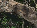 P20140310-0063—Aesculus californica—Old Briones Road (13205459254).jpg