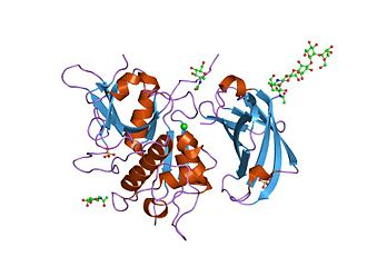Cathepsin C - re-determination of the native structure of human dipeptidyl peptidase i (cathepsin c)