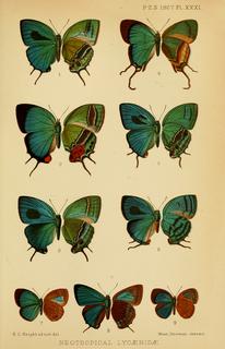 Hamilton Herbert Druce British entomologist