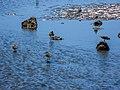 Pacific golden plover tidal strand Sandgate Brisbane Bramble Bay Queensland P1100394.jpg