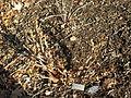 Paeonia suffruticosa.JPG