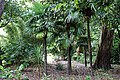 Palm trees in Nuthurst village, West Sussex, England 01.jpg
