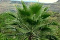 Palma washingtonia (Washingtonia robusta) (14602828793).jpg