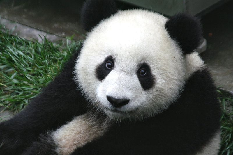 File:Panda Cub from Wolong, Sichuan, China.JPG