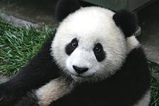 A panda in Australia, on holiday from China