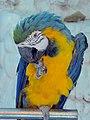 Papageien طوطی 09.jpg