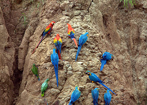 Parrots at a clay lick -Tambopata National Reserve, Peru-8b.jpg