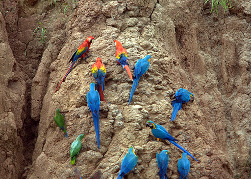 Parrots at a clay lick in Peru