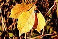 Parthenocissus quinquefolia -wild wine- in autumn discoloration.jpg