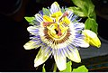Passionsblume - Collage der Blütenöffnung (9).jpg
