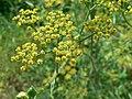 Pastinaca sativa subsp. urens inflorescence (01).jpg