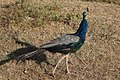 Peacock (181632007).jpeg