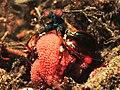 Peacock mantis shrimp (Odontodactylus scyllarus) (24408552006).jpg
