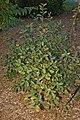 Pearlbush Exochorda racemosa Bush 2000px.jpg