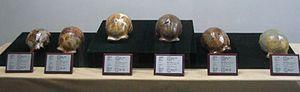Zhoukoudian - Reconstructions of the Peking Man skulls unearthed