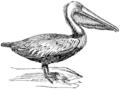 Pelican (PSF).png