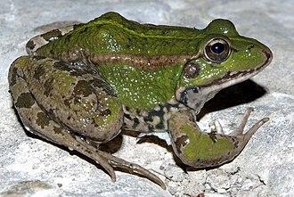 Perez's frog - Image: Pelophylax perezi by dpc