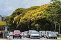 Peltophorum dubium em Brasília 05.jpg