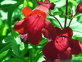 Penstemon.barbatus31.jpg