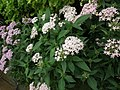 Pentas Cornia from Lalbagh flower show Aug 2013 8265.JPG