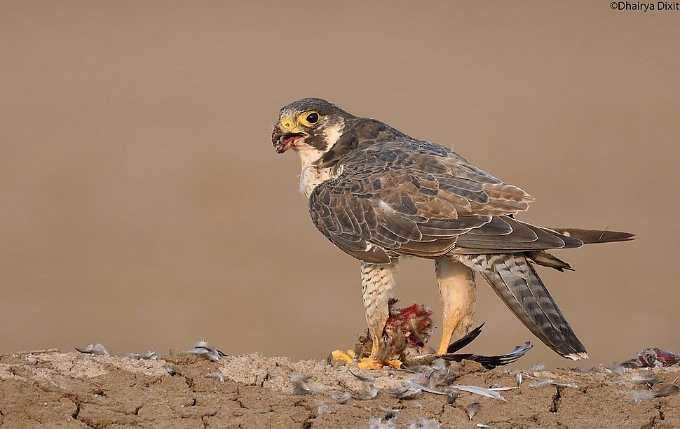 Peregrine falcon with common teal kill