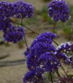 Perez's sea-lavender.png