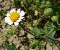 Perityle emoryi flower.jpg