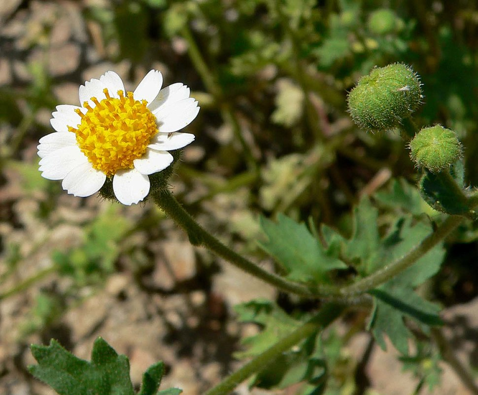 Perityle emoryi flower