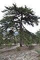 Persephone Nature Trail, Troodos, Cyprus - panoramio (15).jpg