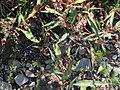 Persicaria hydropiper a1.jpg