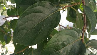 Persimmon - Persimmon leaves