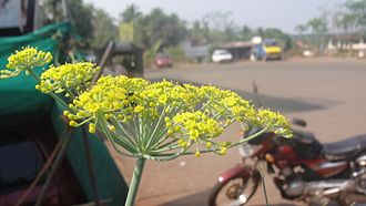 Naduvil and Kudianmala - Fennel flower