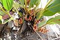 Pflanze im östlichen Caprivistreifen 3.JPG