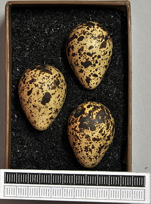 Red-necked phalarope - Eggs, Collection Museum Wiesbaden