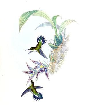 Ecuadorian piedtail - Image: Phlogophilus hemileucurus + Paphinia cristata Gould Humm. 161