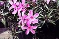 Phlox subulata Crimson Beauty 9zz.jpg