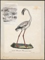 Phoenicopterus minor - 1825-1834 - Print - Iconographia Zoologica - Special Collections University of Amsterdam - UBA01 IZ17600015.tif
