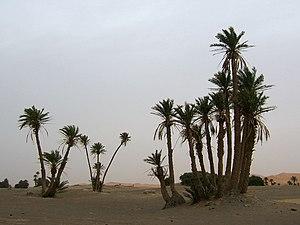 Echte Dattelpalmen in Marokko