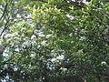 Photinia glabra6.jpg