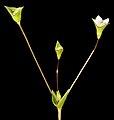Phyllangium paradoxum - Flickr - Kevin Thiele.jpg