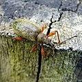 Phyllobius glaucus 39024402.jpg