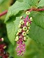 Phytolacca acinosa (unripe fruit).jpg