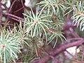 Picea glauca dwarf cultivar needles.JPG
