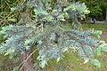 "Picea pungens ""Argentea"" - City Park in Lučenec (3).jpg"