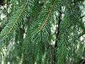 Picea smithiana 001.jpg