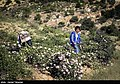 Picking rose to make Golab in Fars 04.jpg